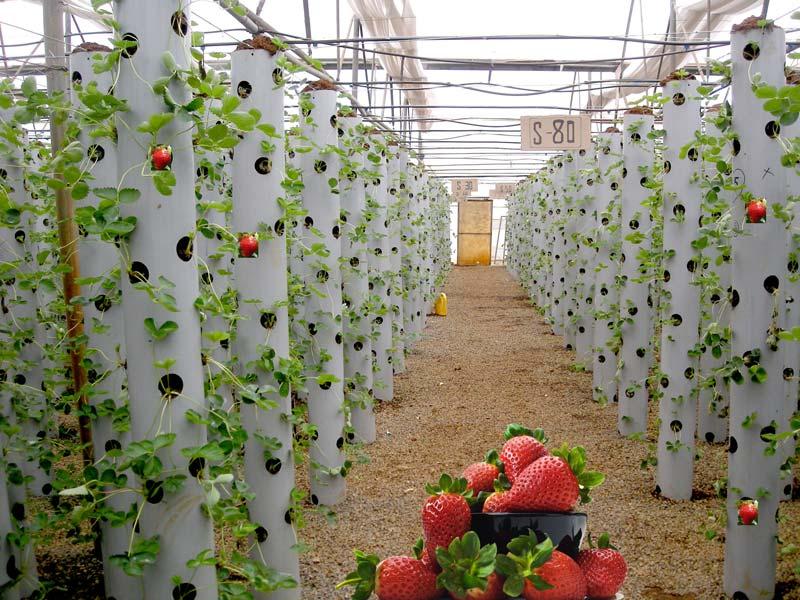 Как открыть бизнес по выращиванию клубники?